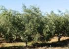 Прекрасная оливковая плантация в Испании
